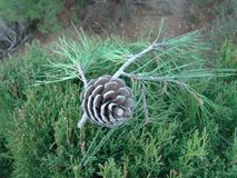 Dry sprig of pine with a cone stock photo