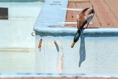 A duck in the pool. During a dry Spring, this Mallard duck is looking for water in a pool at Quebec City Stock Photo