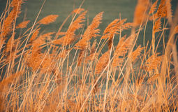 Dry spring reeds Royalty Free Stock Images
