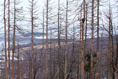 Dry spruce trees in winter forest Royalty Free Stock Images