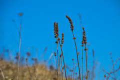 Dry stalk of grass. With the blue sky Royalty Free Stock Photos