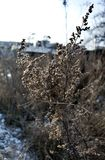 Dry stalk of a weed in winter in the morning sun. Winter landscape Royalty Free Stock Photos