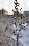 Dry stalk of a weed in winter in the morning sun. Winter landscape Royalty Free Stock Images