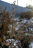 Dry stalk of a weed in winter in the morning sun. Winter landscape Royalty Free Stock Image