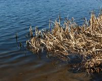 Dry stalks of cattail. In the water in spring royalty free stock photo