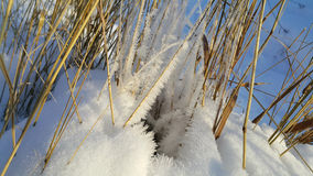 Dry stalks of plants covered with snow Royalty Free Stock Photography