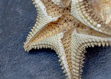 Dry starfish on black background stock photography