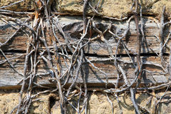 Dry stems of climbing plant on the wall of an abandoned house. Dry stems on the wall of an abandoned house Royalty Free Stock Images