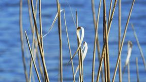 Dry reed stems stock footage