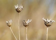 Dry stems of plants. They grow up in a wild field Stock Image