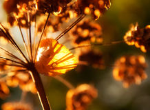 Dry stems of wild autumn flowers in the sunlight. Dry stems of wild autumn flowers in the sunshine and dry leaf Royalty Free Stock Image