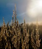 Dry stems of yellowed cereals with dew drops. Illuminate the morning rays of the sun rising on the autumn meadow royalty free stock photo