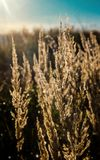 Dry stems of yellowed cereals with dew drops. Illuminate the morning rays of the sun rising on the autumn meadow royalty free stock photos