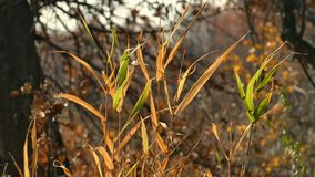 Dry stems of yellowed grass sway the autumn wind stock video