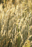 Dry steppe grass Royalty Free Stock Images