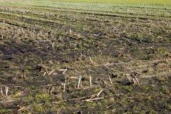 Dry sticks crop field Stock Photo