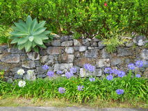 Dry stone wall and bluebells. In the village of Arco de Sao Jorge on the north coast of Madeira, Portugal Stock Photo