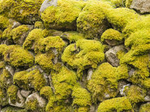 Dry stone wall moss covered. Old dry stone wall covered with smooth moss located in lozere, france Royalty Free Stock Images