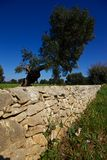 Dry stone wall and olive tree. A dry stone wall in Apulia along a road in the countryside of Fasano. An old olive tree is in the background royalty free stock photo