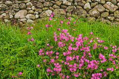 Dry Stone Wall Purple Flowers Stock Photo