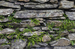 Dry stone wall. With young ferns growing amongst the stones Stock Photography