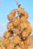 Dry stramonium in wild background Stock Photos