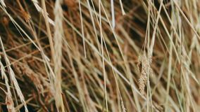 Dry straw close up view stock video