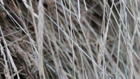 Dry straw close up view stock video footage
