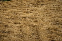 Dry straw field in a sunny day. Close-up of cut dry straw field in a sunny day, making a quaint pattern at the Loriga village. Known as the Portuguese royalty free stock images