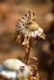 Dry straw flower. Stock Photo