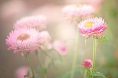 Dry straw flower or everlasting flower Stock Photo