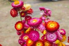 Dry straw flower or everlasting Stock Image
