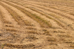 Dry straw in rice fields. Royalty Free Stock Photos