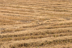 Dry straw in rice fields. Royalty Free Stock Photography