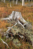 Dry stump. Stock Image