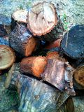 Dry stump stack of wood trees cut down. Stock Photos