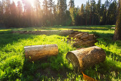 Dry stumps of pine tree on green meadow at sunset Royalty Free Stock Photos