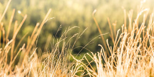 Dry summer Grass. Some dried out from the heat summer grass in a peaceful and blissful forest meadow. Warm sun rays illuminate the plants stock photo