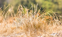 Dry summer Grass and weeds. Some dried out from the heat summer grass and thorny weeds in a blissful and peaceful meadow field with warm sun rays that illuminate Stock Image