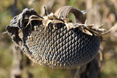 Dry Sunflower. Sunflower - withered in autumn, bird food Stock Photos