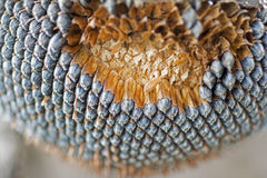 Dry Sunflower Close Up. Ripened Sunflower in Harvesting Time. Raw Seeds in Sunflower. Dry Sunflower Close Up. Sunflower in Harvesting Time. Raw Seeds in Royalty Free Stock Photography