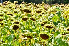 Dry Sunflower field Stock Photos