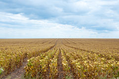 Dry sunflower field Royalty Free Stock Photo