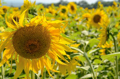 Dry sunflower with tilted head. On a field Stock Images