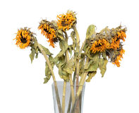 Dry sunflower in a vase Royalty Free Stock Image