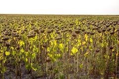 Dry sunflowers Royalty Free Stock Photos