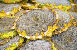 Dry sunflowers background Royalty Free Stock Images