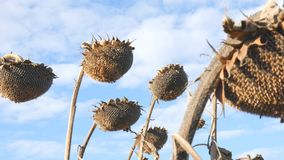 Dry sunflowers on the field in autumn. Harvest sunflower seeds in autumn. Dry stalk of a sunflower close-up view against. Dry sunflowers on the field in autumn stock video footage