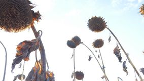 Dry sunflowers on the field in autumn. Harvest sunflower seeds in autumn. Dry stalk of a sunflower close-up against the. Dry sunflowers on the field in autumn stock footage