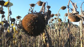 Dry sunflowers on the field in autumn. Harvest sunflower seeds in autumn. Dry stalk of a sunflower close-up view against. Dry sunflowers on the field in autumn stock video